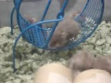 Mother Frankie & her baby dwarf hamsters #4