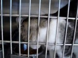 Hornell Animal Shelter #14 - kitten reaching, eating