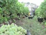 Vendanges 2010 - Pineau des Charentes