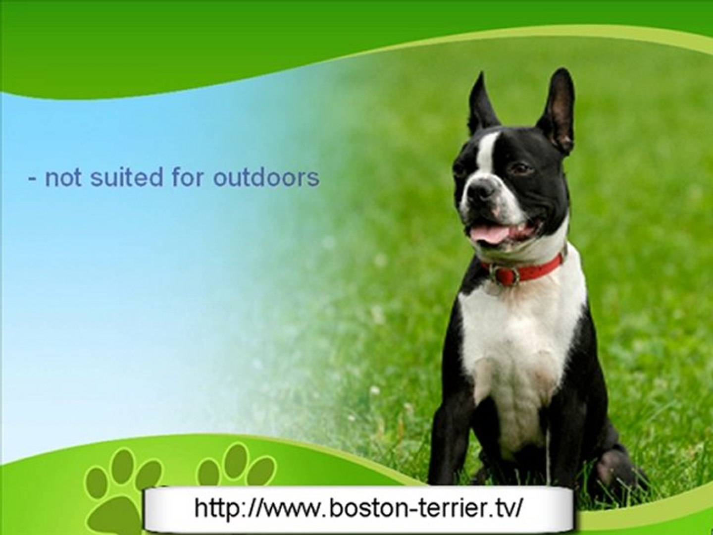 Boston Terrier Facts