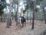 Silver Sam broute dans les bois