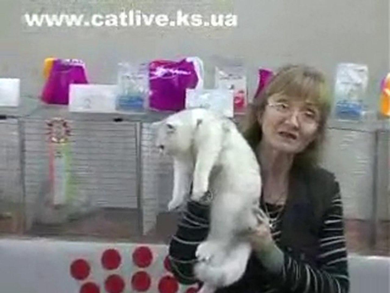 Коты на видео, британская и шотландская порода котов и кошек