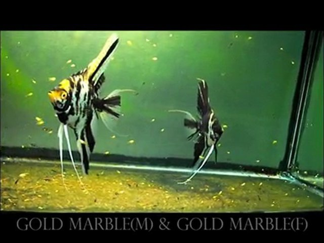 Gold Marble & Gold marble
