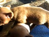 Chiots Russkiy Toy