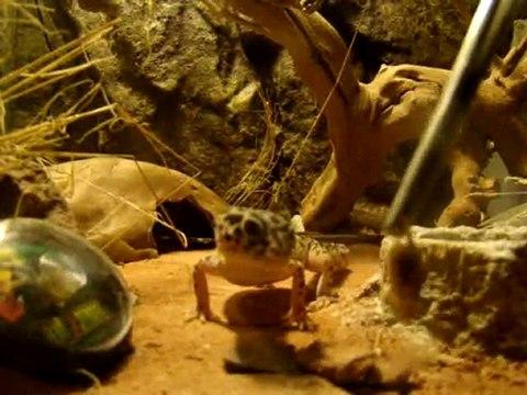 Le repas du gecko léopard