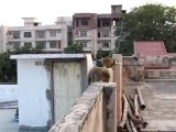 singes sur le toit chez Yves à Bénarès