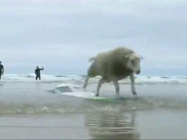Sheep surfing
