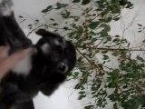 bébé chihuahua né le 02 octobre 2010 petit male