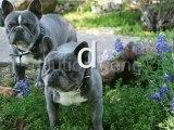 Perfect French Bulldog puppy
