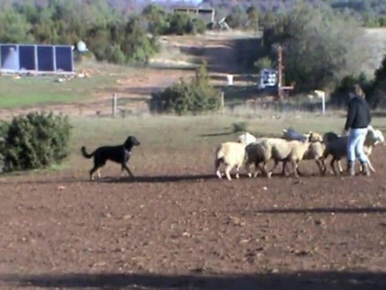Elan, beauceron à l'entraînement au troupeau
