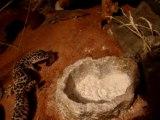 Le repas du gecko léopard 2