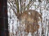 Luchs im Schnee  im Wildgehege Hellenthal