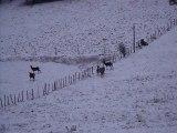 biches et cerf dans la neige