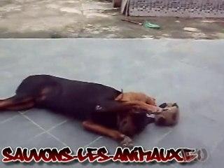 combat de chien - Rottweiler chien dangereux ?