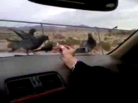 Tauben füttern im Auto