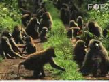 Did Chimps and Humans Inherit Common Social Behaviors?