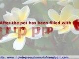 Plumeria Plants - How To Grow Plumeria Cuttings