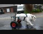 chariot pour chien bouledogue paralysé