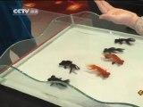 Natation synchronisée de poissons en Chine
