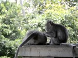 Monkeys of Ubud, Bali, Indonesia (1 of 8)