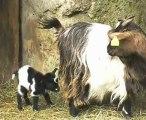 Elevage des Tourelles - Guismo quelques heures après sa naissance !