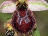 ONF Calanques : une orchidée endémique l'ophrys massiliensis