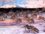 Abeilles ventileuses et pollen