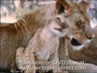Cute lion cub overload from the Born Free archives with George Adamson