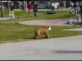 Bulldog pro en skate ! chien skater trop marrant