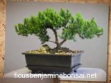 Ficus Benjamina Bonsai   One of the Best Bonsai Trees ...