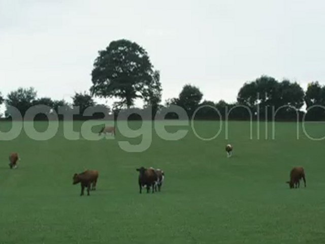 Cattle on Pasture footage_007179_0