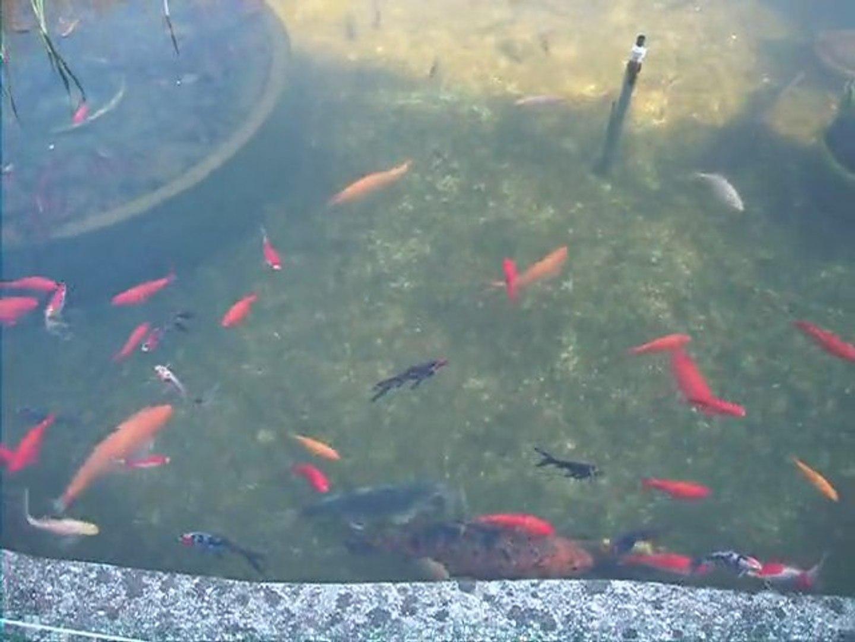 Poisson Rouge Bassin Extérieur bassin jardin (poisson rouge carpe koi esturgeon tortue de