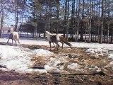 Jack et Russell !!! chevaux en liberté!