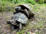 Tortue folle