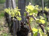 La vigne de printemps avec Marc Penavayre (Plaisance Fronton)