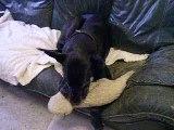 chien dogue allemand... Perle !!!