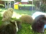 Photo 290 bébés lapins bélier teddy angora d'ambre havane et divin blanc aux yeux bleus