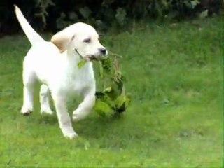Beige Labrador pupjes Woefkesranch