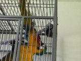 Lola, mon ara ararauna se bagarre avec son jouet !
