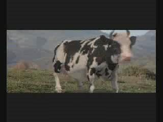 baston Jetli avec une vache