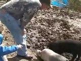 Le porc, c'est po bien...(âmes sensibles, s'abstenir)