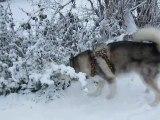 Earl se roule dans la neige
