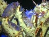 3 crabes géants (King Crab) à Océanopolis