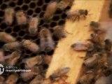 Disparition des abeilles, la fin d'un mystère - extrait 2