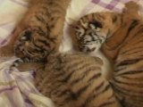Tiger Triplets Born in Southeast China