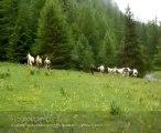 chevaux paint horses et autres arrivent en alpages, escreins, vars, hautes alpes