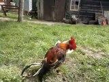 jeune coq rouge de ma lignée  VS  jeune coq amelao