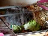 Photo 710 Chanel lapine bélier angora teddy se restaure après la naissance difficile de ses bébés