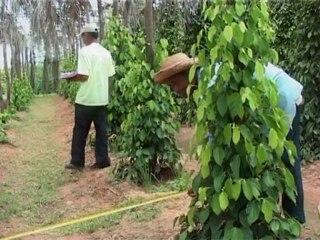 Le poivre de Kampot - Cambodge