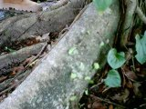 Fourmis-champignonieres